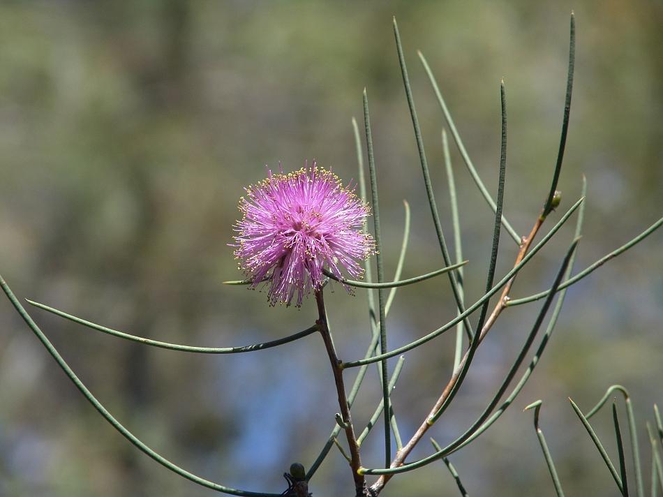 Melaleuca Flowers